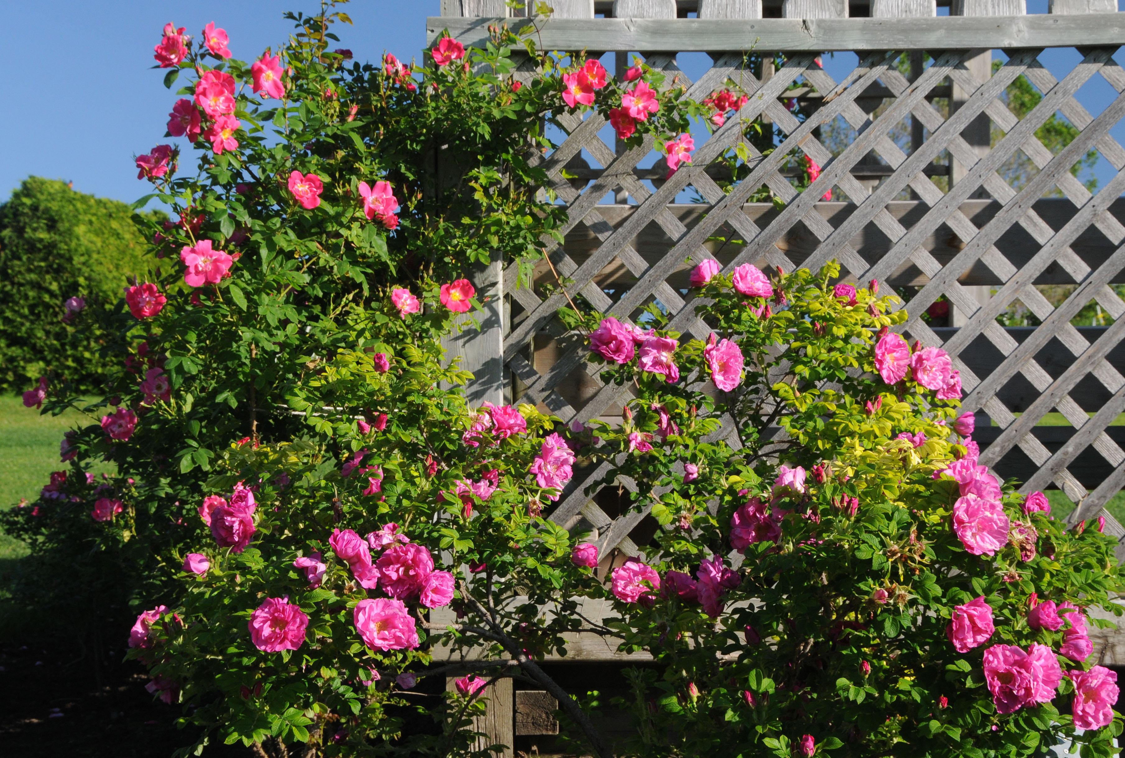 Explorer Rose Garden Tour