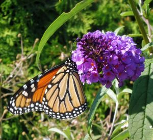 butterfly-bush-and-monarch-thumbnail