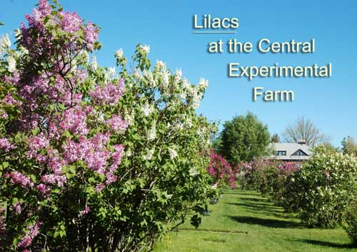 Lilacs at the CEF