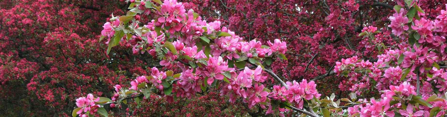 Rosybloom Crabapple blossom